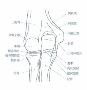 肘関節解剖 正面